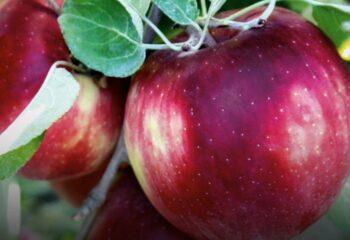 Razones saludables para incluir la manzana en tus comidas